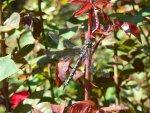 Dragonfly-Rose.jpg